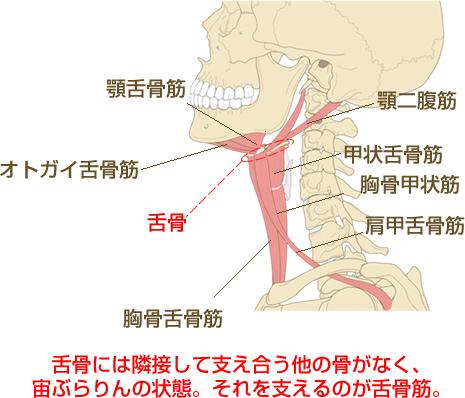 二重顎の原因となる舌骨、舌骨筋説明図